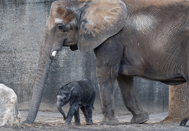 Elephant Mikki & Calf Make Debut